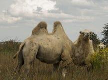 Los costes two-humped del camello en el banco Fotografía de archivo