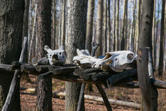 Los cráneos de los animales matados por los cazadores Fotografía de archivo libre de regalías