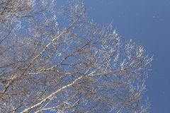 Los cristales de la helada caen de abedules congelados en una mañana soleada Imagen de archivo