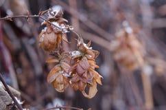 Los cristales de la nieve en un salto secado florecen Clos marchitados de la flor del salto Imagen de archivo