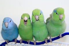 Los cuatro parrotlets del amigo Imagen de archivo libre de regalías