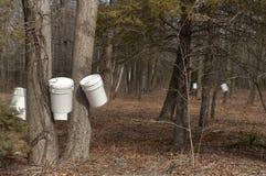 Los cubos colgaron en árboles de arce de azúcar de Nueva Inglaterra en primavera Foto de archivo libre de regalías