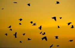 Los cuervos arrojan en cielo en la puesta del sol Foto de archivo