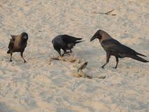 Los cuervos comen la serpiente de mar en la fauna de la playa Imagenes de archivo