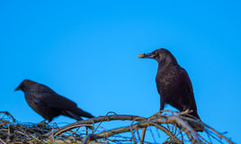 Los cuervos comparten el cacahuete Imágenes de archivo libres de regalías