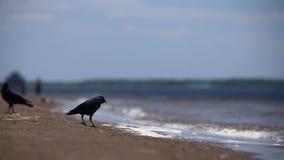 Los cuervos están caminando en la arena almacen de metraje de vídeo