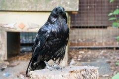 Los cuervos negros hermosos se sientan en un tocón Imagen de archivo libre de regalías