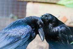 Los cuervos negros hermosos se sientan en un tocón Imágenes de archivo libres de regalías