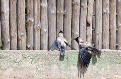 Los cuervos se están sentando en una cerca de madera fotos de archivo