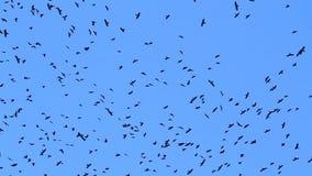 Los cuervos vuelan en el cielo azul
