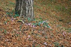 Los cyclamens salvajes están floreciendo en el pie de un árbol en los jardines de los viajes de un castillo cerca (Francia) Fotos de archivo