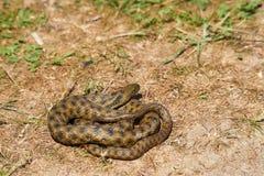 Los dados arrastran o el tessellata del Natrix es una serpiente nonvenomous europea foto de archivo libre de regalías