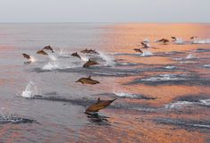 Los delfínes están persiguiendo una multitud de pescados en la puesta del sol Imágenes de archivo libres de regalías