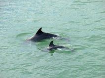 Los delfínes miman y bebé la Florida Fotografía de archivo