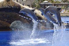 Los delfínes saltan Imagen de archivo libre de regalías