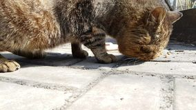 Los desamparados del gato comen en la calle almacen de metraje de vídeo