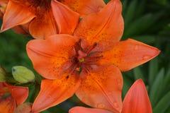 los descensos crecieron en una flor del lirio Imagen de archivo libre de regalías