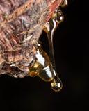 los descensos de la echada ambarina fluyen abajo en árbol Fotografía de archivo libre de regalías
