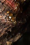 los descensos de la echada ambarina fluyen abajo en árbol Foto de archivo libre de regalías