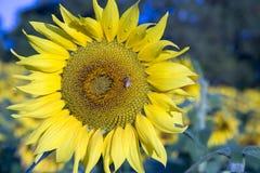 Los descensos de rocío con la abeja de la miel en el girasol florecen Foto de archivo