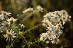 Los descensos de rocío minúsculos cogen luz del sol en las flores blancas Foto de archivo libre de regalías