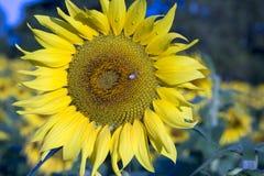 Los descensos de rocío y la abeja de la miel en el girasol florecen Imagen de archivo