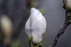 Los descensos del rocío en los pétalos blancos de una magnolia florecen Foto de archivo