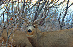 Los detalles de Buck Deers Antlers adentro friegan el roble Imágenes de archivo libres de regalías