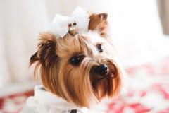Los detalles de la boda de la novia, poco perro se vistieron como una novia imágenes de archivo libres de regalías