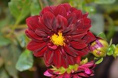 Los detalles de la dalia púrpura salvaje florecen con los brotes Imagen de archivo
