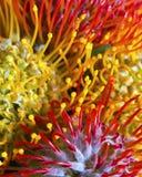 Detalles de la flor del Protea Imágenes de archivo libres de regalías