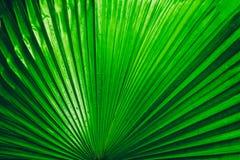 Los detalles de la palmera verde grande hojean, se cierran para arriba de la textura b de la hoja imagenes de archivo