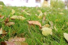 Los detalles de las hojas los verdes de hierba en el tiempo frío del otoño son secos, frunciendo el ceño caído suavemente Fotos de archivo libres de regalías