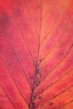 Los detalles macros de la cereza del otoño hojean con luz del sol Foto de archivo