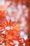 Los detalles macros del japonés Autumn Maple se van con el fondo borroso Imagen de archivo