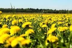 Los dientes de león amarillean las flores en el cielo azul del verano del campo Imagenes de archivo