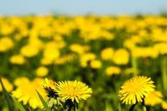 Los dientes de león amarillean las flores en el cielo azul del verano del campo Fotografía de archivo