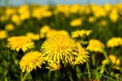 Los dientes de león amarillean las flores en el cielo azul del verano del campo Imagen de archivo
