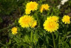 Los dientes de león amarillos de la flor en primavera florecen al aire libre en naturaleza Imagen de archivo