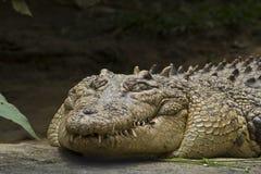 Los dientes del monstruo (cocodrilo) Imágenes de archivo libres de regalías