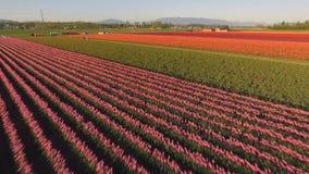 Los diversos colores de tulipanes aparecen en tulipán floral del campo agrícola metrajes