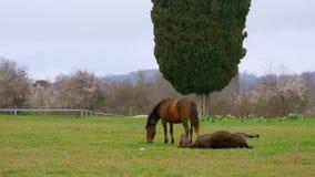 Los dos caballos en color marrón que comen hierbas en el césped con el árbol verde en el fondo metrajes