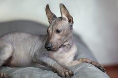 Los dos meses del perrito de la raza rara - Xoloitzcuintle, o perro sin pelo mexicano, tamaño estándar Ciérrese encima del retrat fotos de archivo libres de regalías