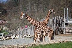 Los dos paseos de la jirafa en el parque zoológico Fotos de archivo