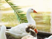 Los dos patos de diversos colorque descansan en luz del sol fotografía de archivo