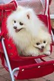 Los dos perros blancos en cochecito de niño Foto de archivo libre de regalías