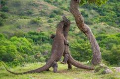Los dragones de Komodo se están luchando Imagen muy rara indonesia Parque nacional de Komodo Imagen de archivo libre de regalías