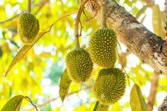 Los Durians jovenes Fotos de archivo libres de regalías
