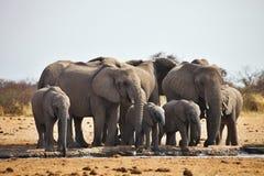 Los elefantes africanos, africana de Loxodon, corren un waterhole Etosha, Namibia Foto de archivo libre de regalías