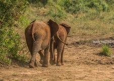 Los elefantes africanos de la sabana en un waterhole en el iMfolozi de Hluhluwe parquean Imagenes de archivo